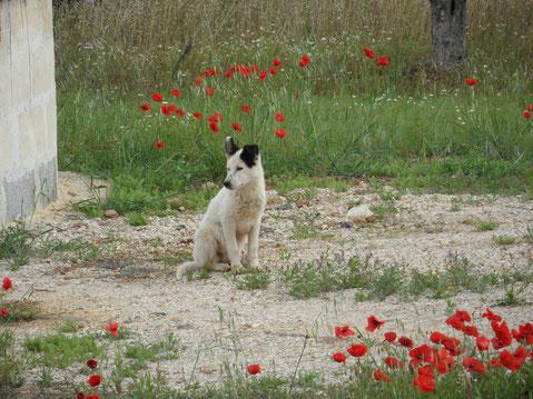 Eigentlich sollten die Kumunen die Hunde kastrieren, damit nicht immer noch mehr Hunde-Leid entsteht. Aber das passiert noch nicht.