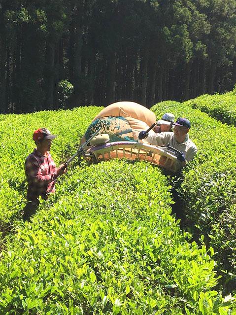 お茶摘みをするあぐり倶楽部のメンバーと農協青年部の方々