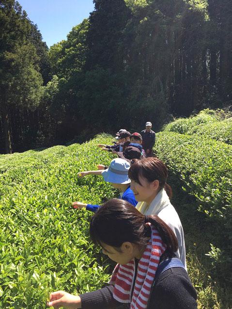 福岡市早良区脇山のお茶畑でお茶摘みをする中村学園大学短期大学部の学生(2018年5月20日)