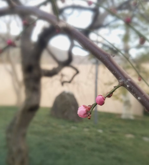 2週間前の写真ですが、しだれ梅の花が咲き始めました♡