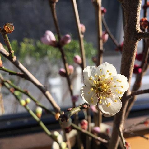生けておいた梅も咲きだした♪ 春っすね~♪