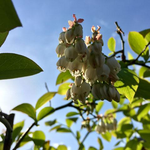 ブルーベリー、、今年もめちゃくちゃ花がついているんで実の方も、、、♪