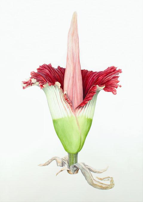 Amorphophallus titanum        2000x1100mm      2012