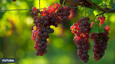 Grappes de raisins au soleil. Crédit phoo www.futura-sciences.com