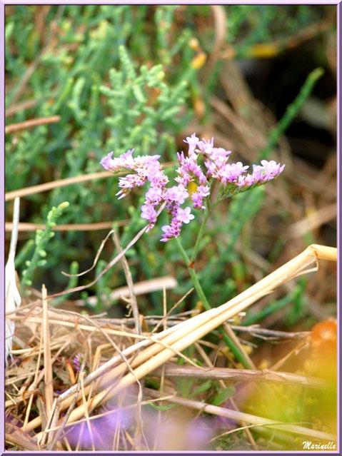Saladelle ou Lavande des Mers ou Immortelle Bleue ou Lilas de Mer, flore Bassin d'Arcachon (33)