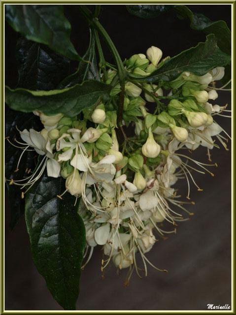 Médinilla blanche (une variété)