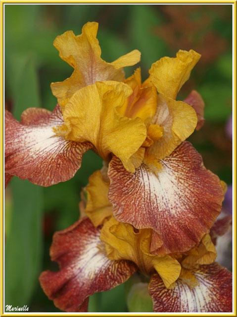 Iris jaune ocre et marron au jardin