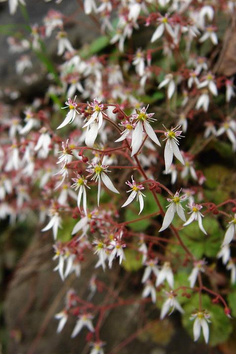 #7 ユキノシタの花  2007.06.24 群馬県吾妻郡