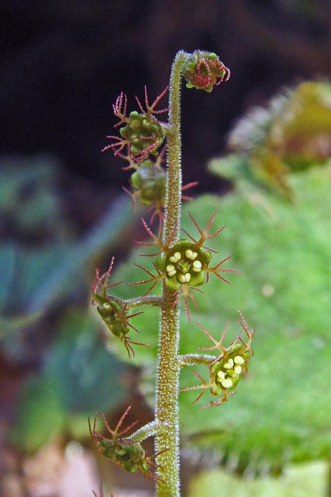 #15 花弁が5裂したコチャルメルソウ  2008.03.09 八王子市 alt=240m