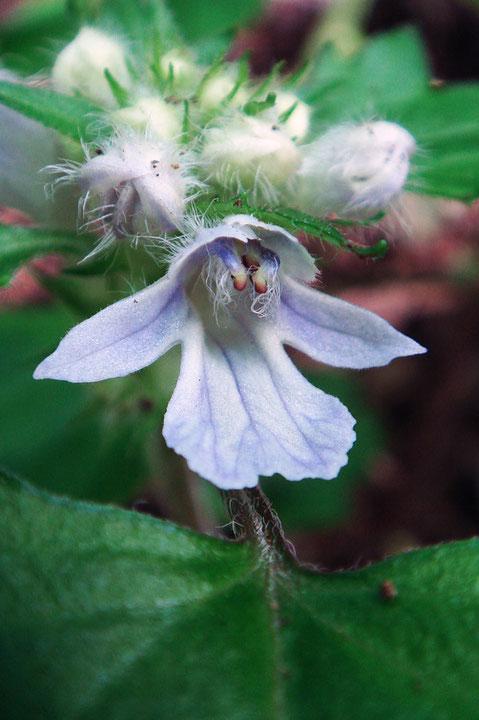 オウギカズラはツボミはたくさんつけていた。これからたくさん咲きそう