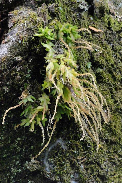 ヨウラクランの下側の株。花を咲かせている花茎が少ない。 このため色合いが異なるのか