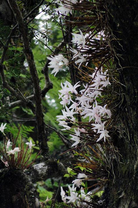 セッコク (石斛) ラン科 セッコク属  白色〜うっすらピンク色の美しい花