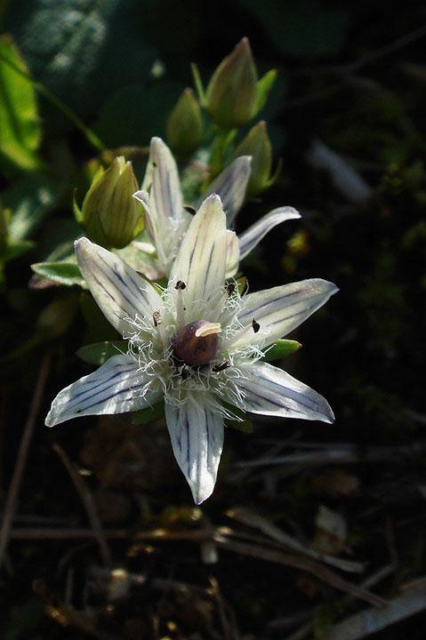 イヌセンブリ 花弁が6裂した花があった。 センブリ属ではあまり珍しいことではない