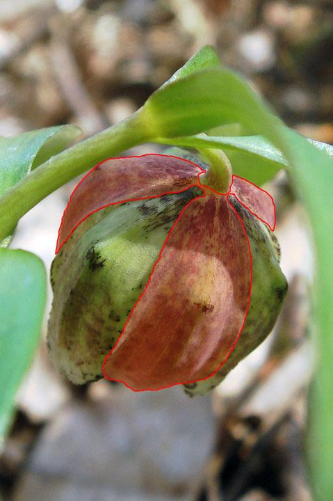 #10 コシノコバイモの花 赤く着色した部分が外花被、その間が内花被