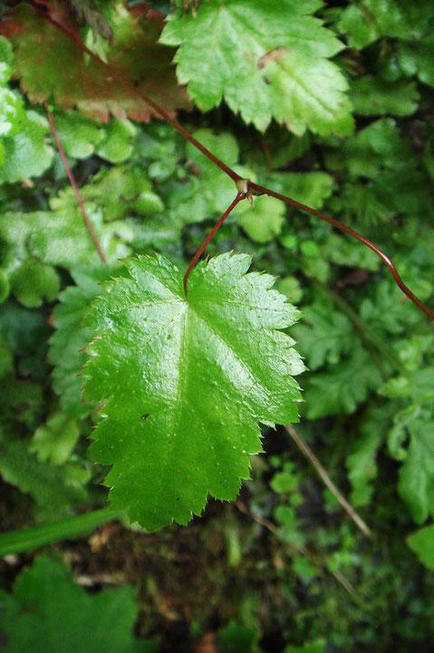 茎葉を1つつけるのことが、一つ葉升麻の名の由来