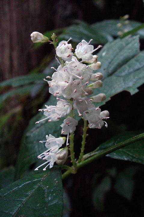 シモバシラの花  ツボミや若い果実まで見れました