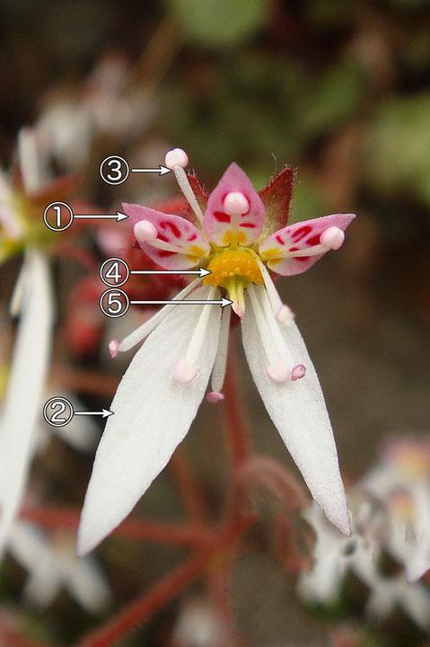 #9 ユキノシタの花の正面  2007.06.24 群馬県吾妻郡