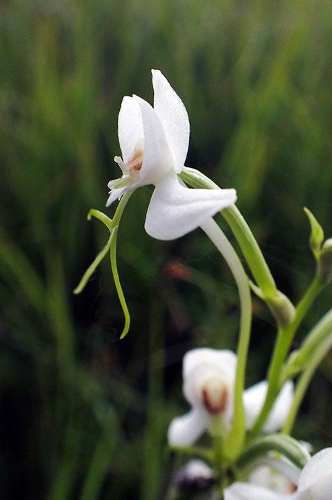 オオミズトンボの花を側面から見ると、花の正面に粘着体が突き出しているのが見えます