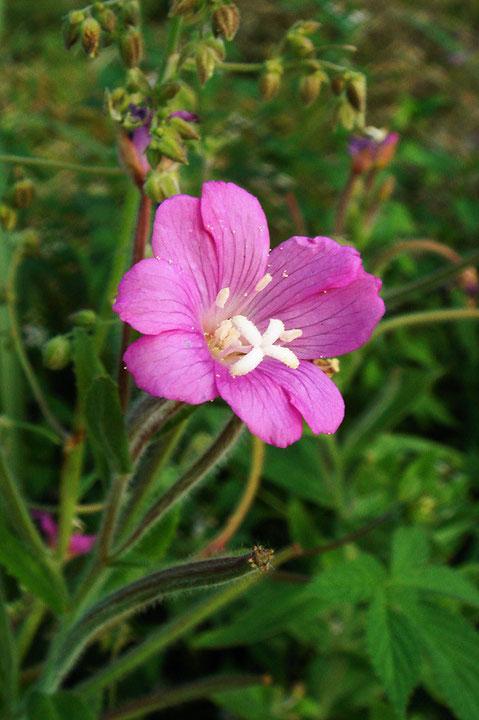オオアカバナ  花弁は4個で、それぞれ2つに裂けています