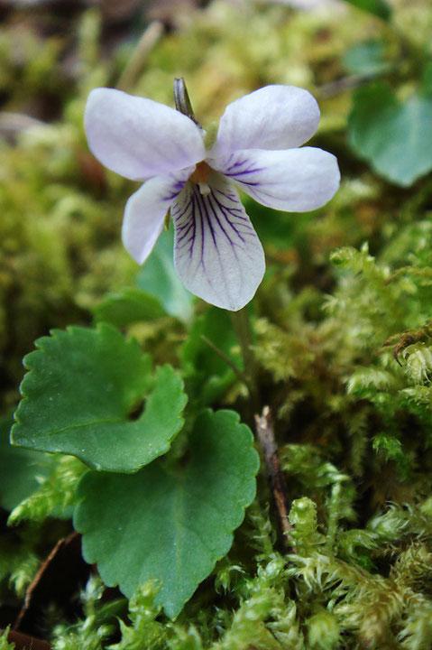 トウカイスミレ唇弁は上弁より大きい。花弁の地色は白色ではなく、わずかに淡紫色を帯びます