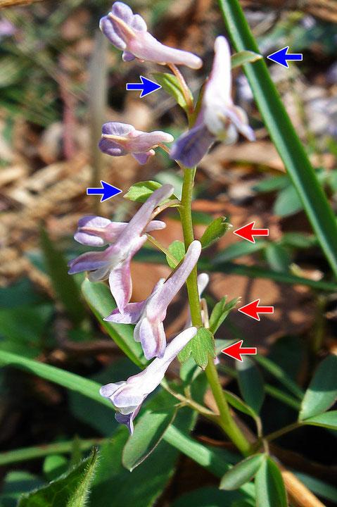#9  ミチノクエンゴサクの苞の切れ込みは要注意。青矢印はなし、赤矢印はあり
