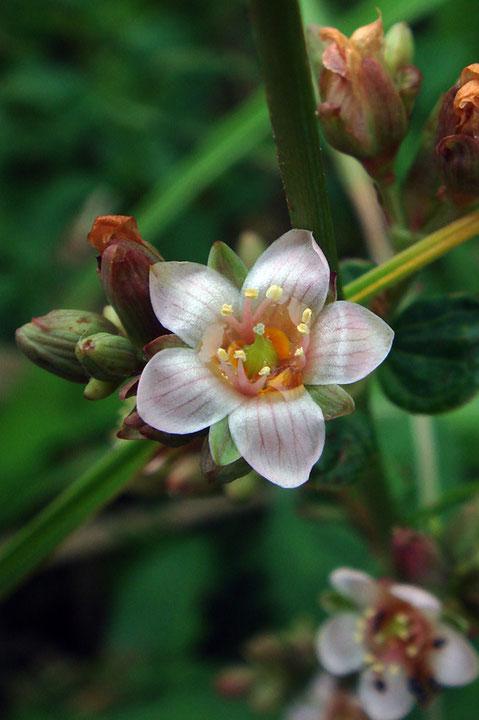 愛らしいミズオトギリの花は、午後に開き、夕方にはしぼんでしまいます