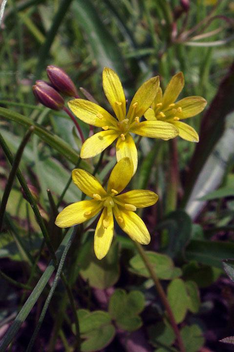 ヒメアマナは絶滅危惧種1B類の希少植物