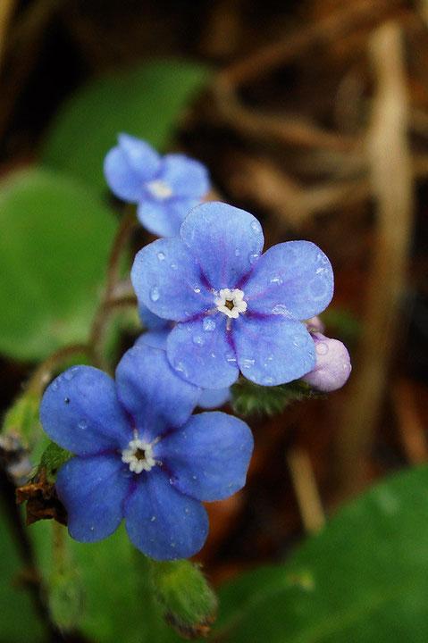 ルリソウの花