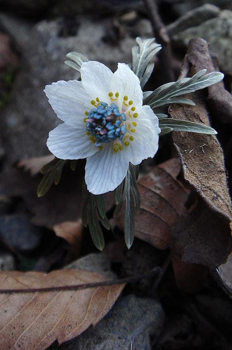 萼片は普通は5裂しますが、もっと多いことも珍しくありません。