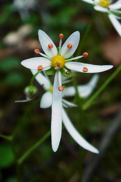 ウチワダイモンジソウの花 花弁は上部の3個が小さく、下部の2個が大きい