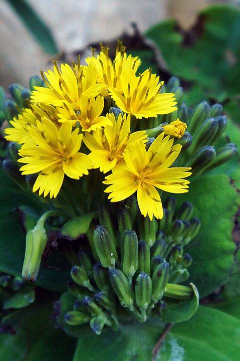 ワダン この花は雄性期が終わり、柱頭が葯筒から飛び出して反り返っていた