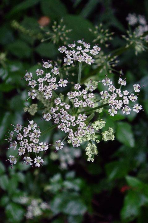 ヤマゼリの花  花弁は先が内側に曲がり、雄しべは花弁より長く突き出します