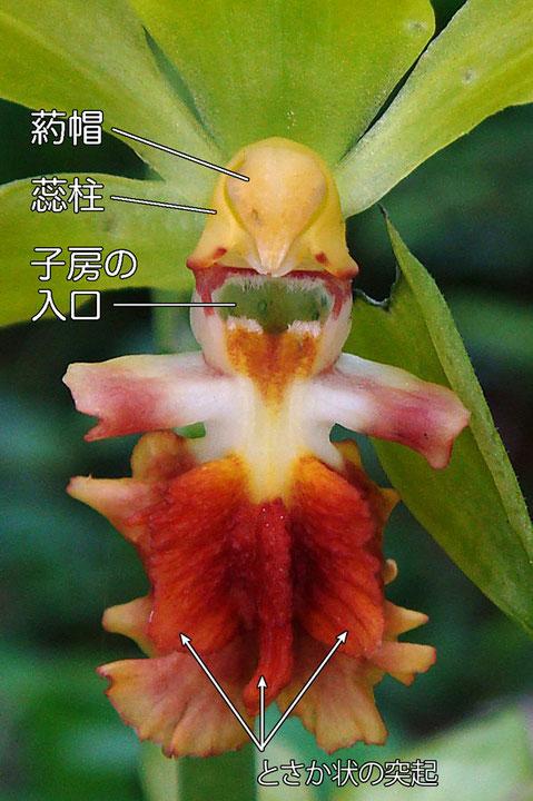 サルメンエビネの花の拡大