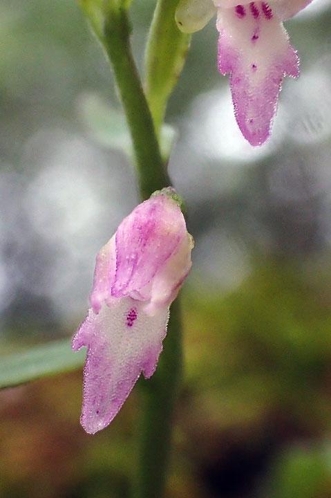 #7 フジチドリの花