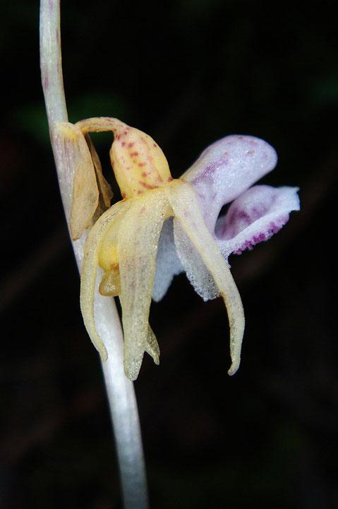 トラキチランの花の側面 やっぱりタコに似ている? 花柄・子房にねじれ無し