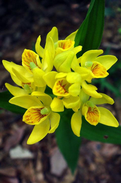 キンラン 花全体が少し緑色がかった株がありました