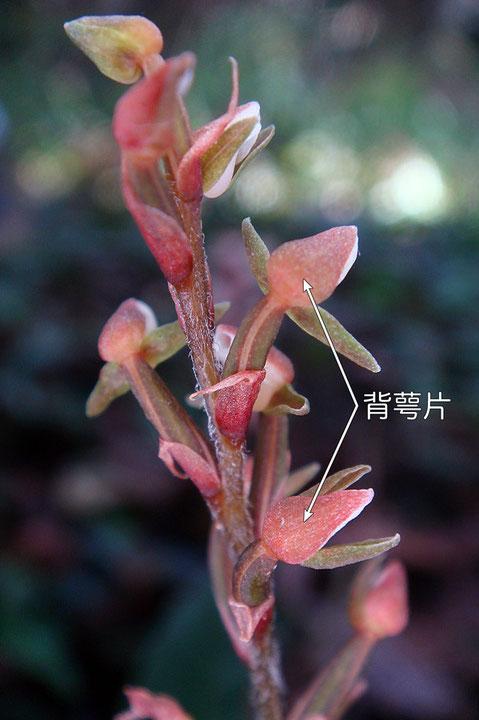 #5 カゲロウランの花-背萼片1