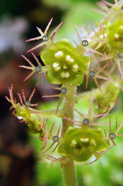 #19 5、6、7裂した花弁をもつコチャルメルソウの花