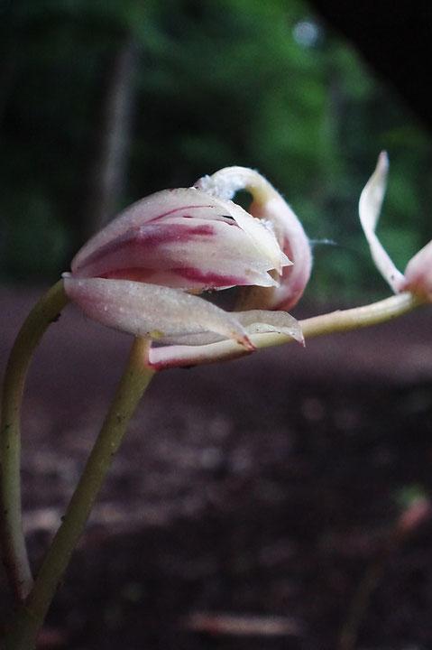 マヤランの開花が始まった直後の花
