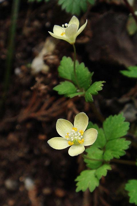 トウゴクサバノオ  花弁に見える部分は萼片 花弁は小さな黄橙色の部分