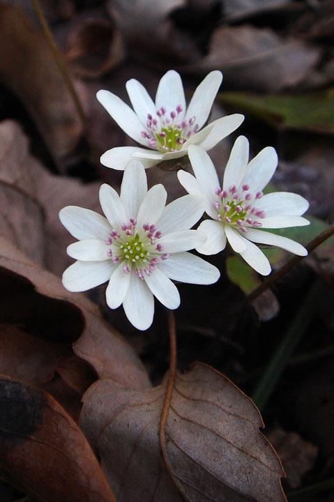 白い花弁に見えるのは、萼片です。 萼片の数には変異があります。