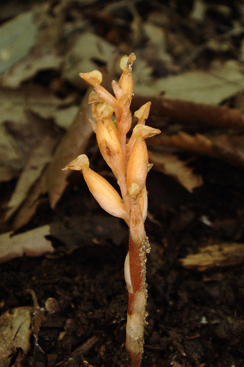 この株の高さは4〜5cmほど。 ヒメノヤガラは、葉緑素を持たない、菌従属栄養植物です。