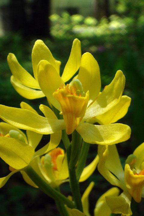 「もっと光を!」 おひさまに向かってキンランの咲く花たち
