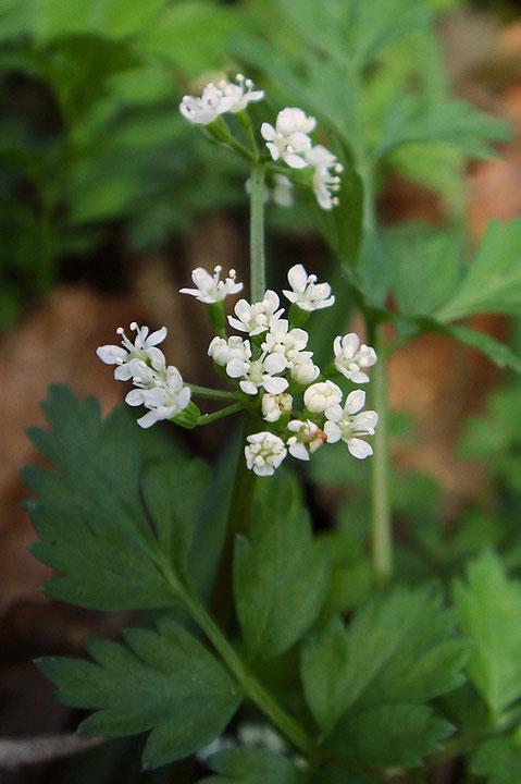セントウソウの花  白い5弁花はとても小さい