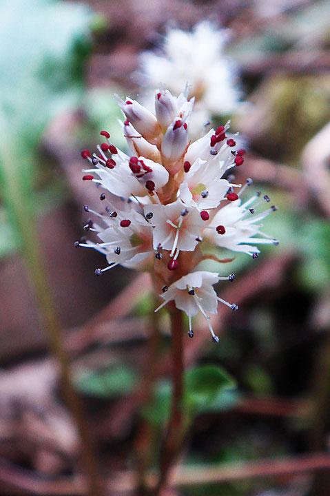 ハルトラノオの花に花弁はありません。 5深裂した白色の萼と赤い葯のコントラストが美しい