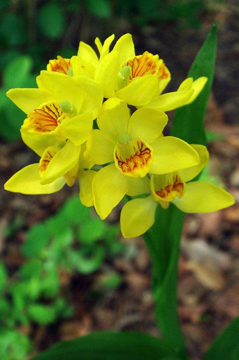 キンラン 小さいですが、美しい花です。