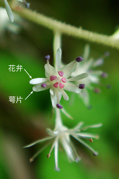 ヒトツバショウマの花弁は白色で、へら形です