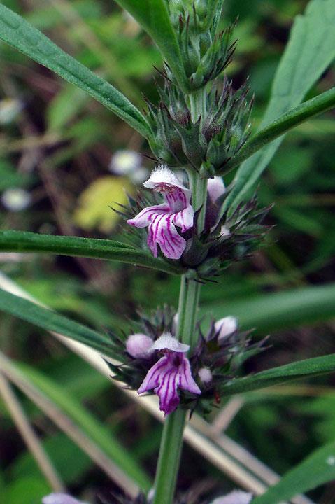 メハジキの花