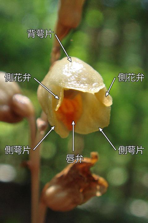 #8 ナヨテンマの花の構造(背萼片、側花弁、側萼片、唇弁) 2016.06.18