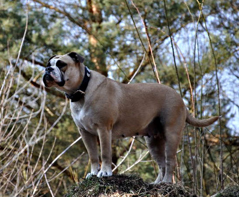 Continental Bulldoggen Welpe